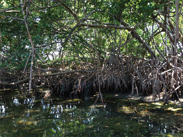 red-mangroves