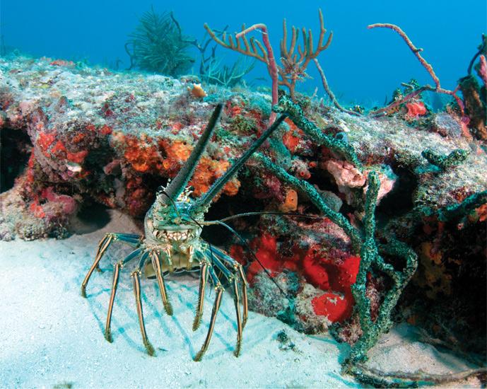 Spiny Lobster Panulirus Argus | Lobster House